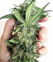 medical marijuana cannabis hemp pot